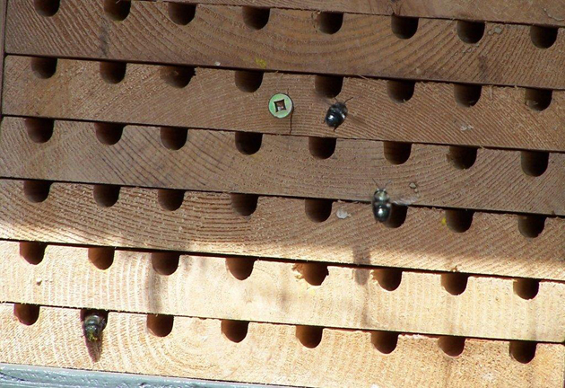 Mason Bees: Science in your own backyard