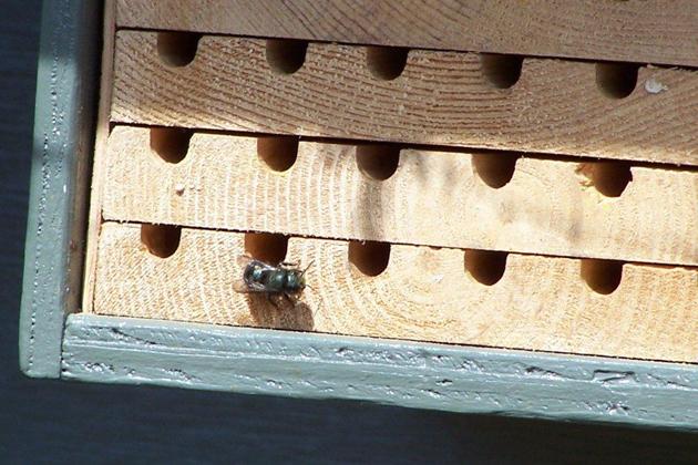 Orchard mason bee (Osmia lignaria propinqua)