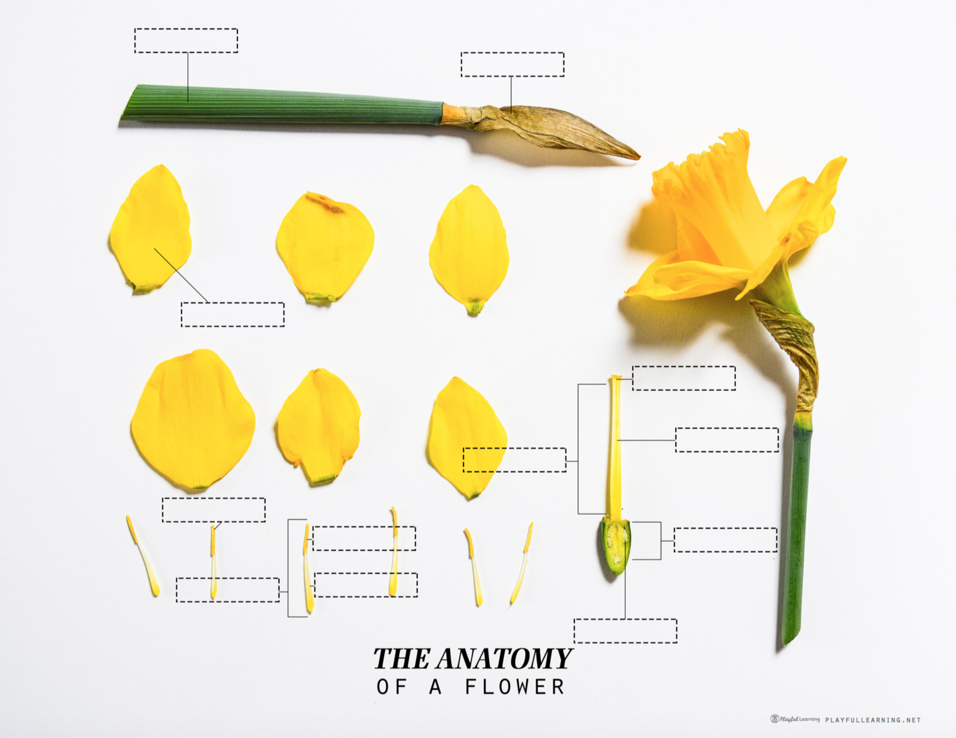 Playful Learning: Parts of a Flower