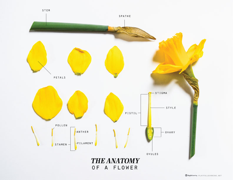 Science Lab: Anatomy of a Flower